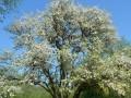 """Pasākums """"…un mežābele maijā zied''"""